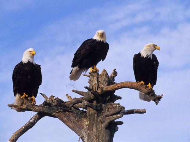 PHOTO: Bald eagles are pictured at Homer Spit in Homer, Alaska, Jan. 1, 2002.