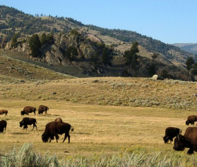 Photo A Herd Of Bison Grazes In The Lamar Valley Of Yellowstone National Park