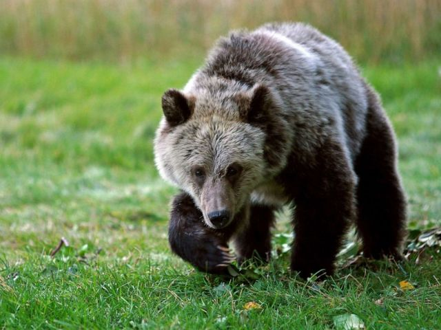 PHOTO: In this Sept. 25, 2013, file photo, a grizzly bear cub forages for food in Gardiner, Mont.
