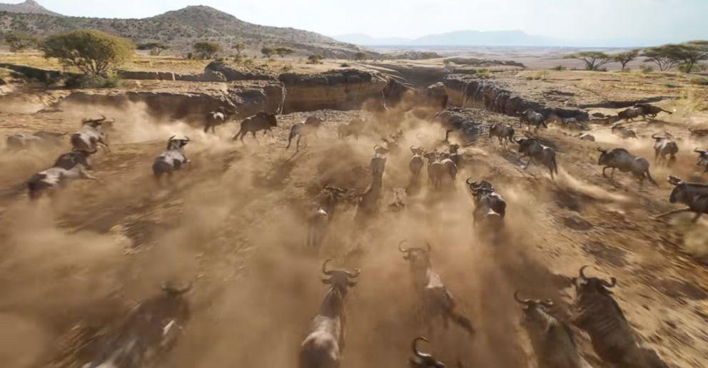 Wildebeests stampeding