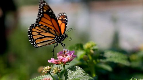 Monarch butterflies in California at critically low level for 2nd year in a  row - ABC News