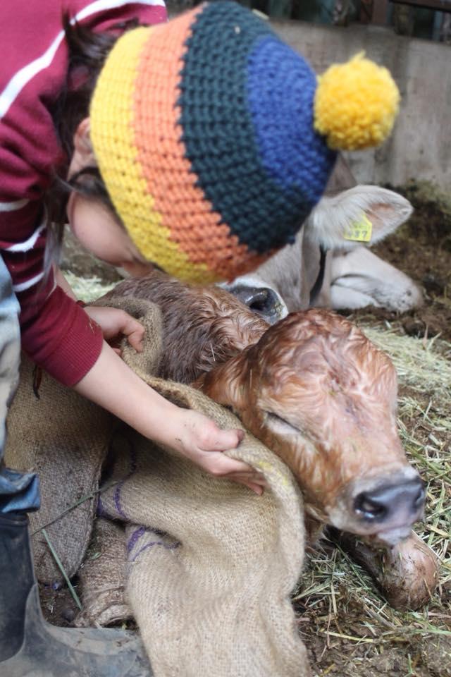 生まれたばかりの子牛の体を拭く鷹之介君=八王子市の磯沼ミルクファーム