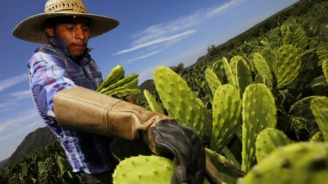 A worker collects white prickly pear in Zapopan, Mexico, on August 1