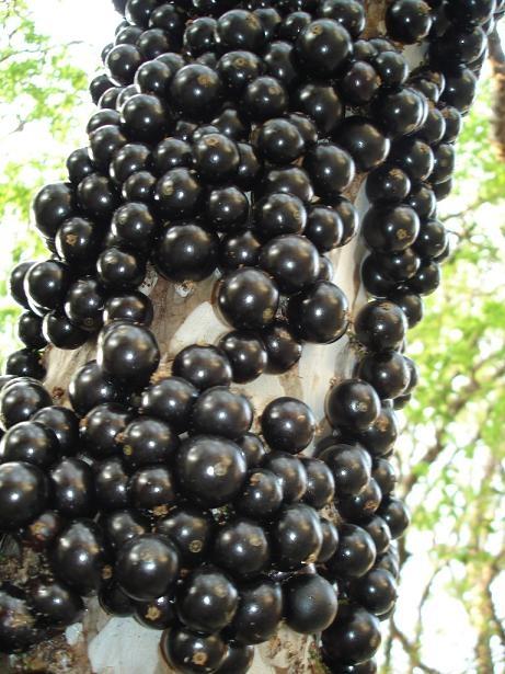 Resultado de imagem para frutas caídas do pé