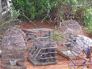 Pássaros apreendidos na Bahia (Foto: Divulgação/ Bahia)