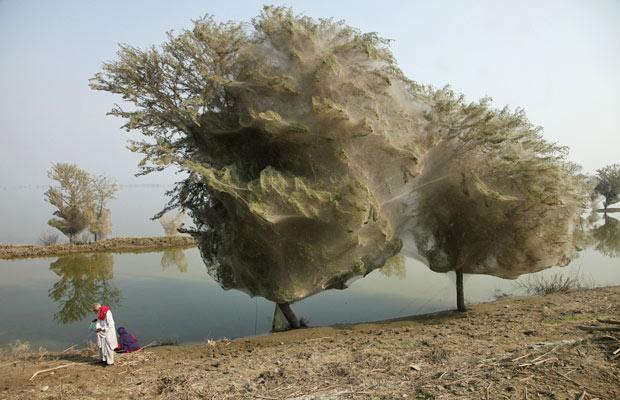 Resultado de imagem para aranhas fazem teias em árvores no paquistão
