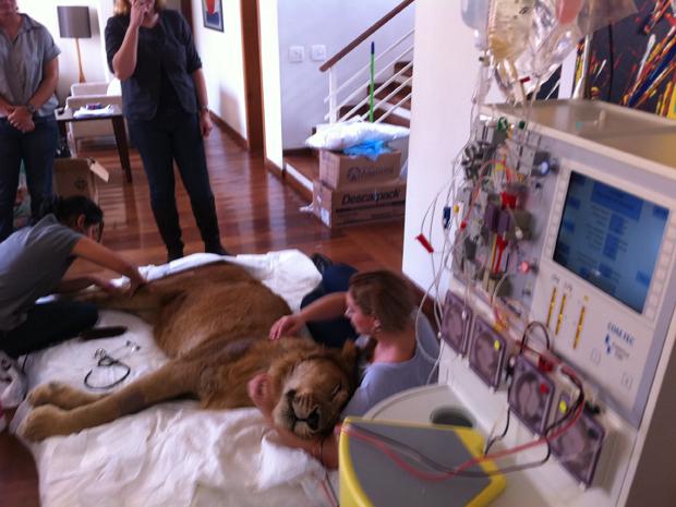 Leão passa por tratamento nos últimos dias de vida (Foto: Caroline Hasselmann/G1)