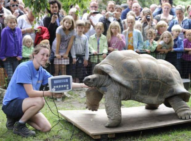 Durante o check-up, a tartaruga pesou 229 quilos (Foto: Lex van Lieshout/AFP)