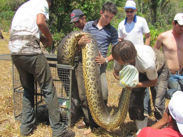 Foram necessários oito homens para carregar o animal até a gaiola. (Foto: Roteiro Notícia/Célio Ribeiro)