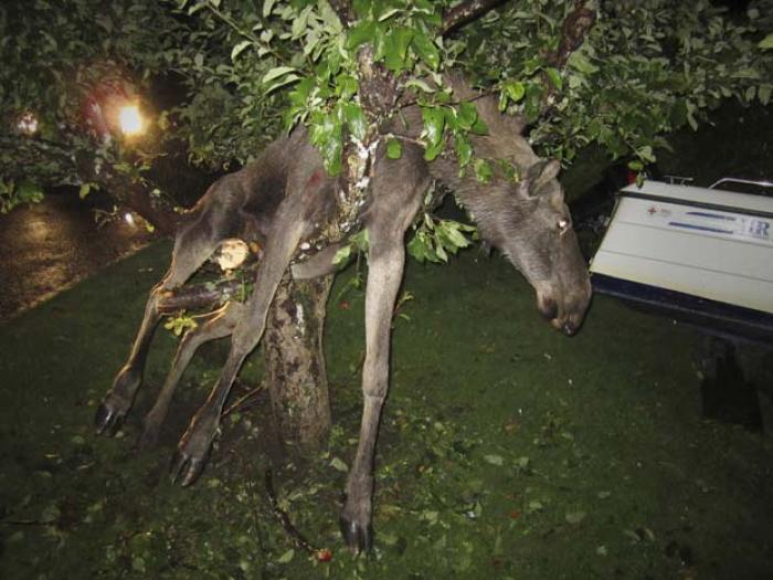 Alce 'bêbado' precisou ser resgatado após ficar preso em árvore. (Foto: Per Johansson/AP)