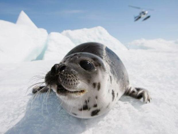 Exemplar de foca-harpa, encontrada na costa do Canadá e parte da Groelândia. Derretimento do gelo afeta reprodução da espécie. (Foto: Joe Raedle/Getty Images/AFP)