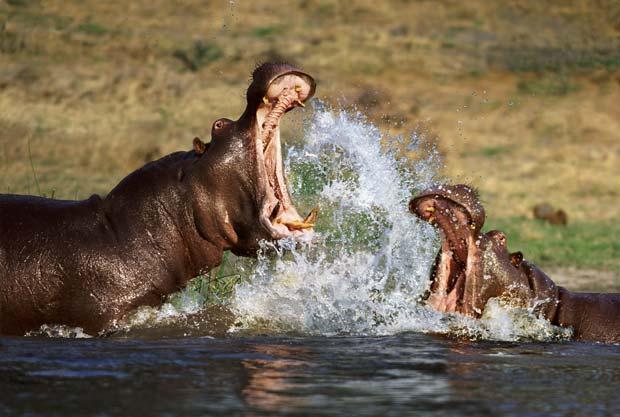 Em foto divulgada em 2011, hipopótamos durante briga em rio em Botsuana. (Foto: Steve Bloom/Barcroft Media/Getty Images)