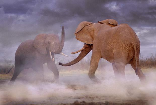 Em foto divulgada em 2011, dois elefantes são fotografados lutando em Botsuana. (Foto: Steve Bloom/Barcroft Media/Getty Images)