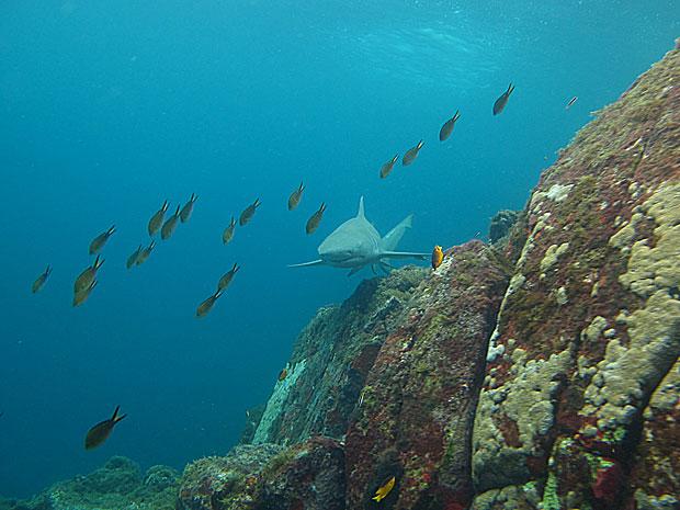 Tubarão limão na Praia do Sancho (Foto: Leonardo Veras / Museu do Tubarão)