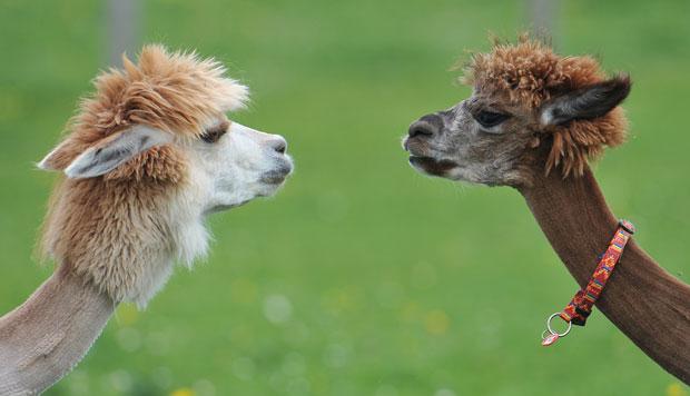"""Chamada de """"Alpaca-Land"""", a fazenda em Goeming promove os cortes no início da temporada de calor na Europa, para que as alpacas sintam menos calor e para que haja tempo de o pelo crescer até o inverno. (Foto: Kerstin Joensson/AP)"""