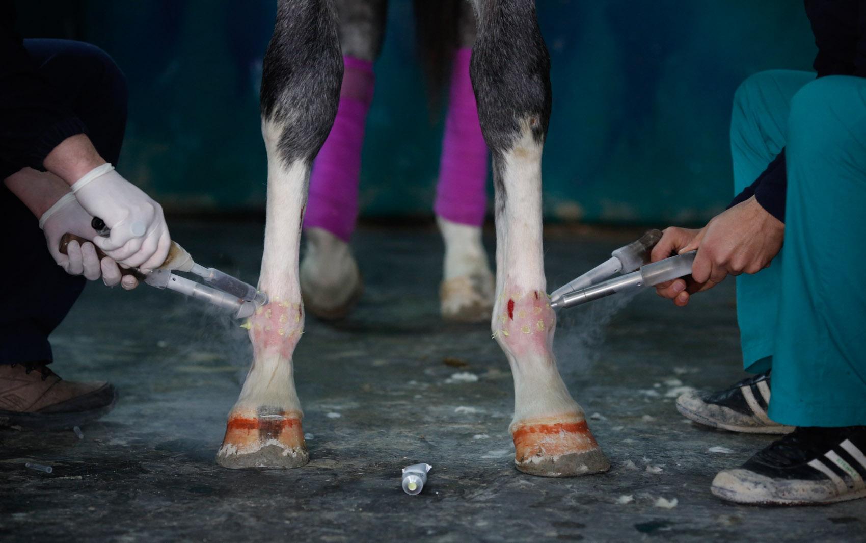 Técnicos veterinários realizam uma sessão de fisioterapia com choques elétricos em um cavalo de corrida