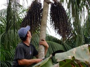 Palmeira juçara (Foto: Divulgação / Centro Ecológico)