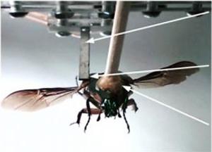 Inseto robô (Foto: Reprodução/Physorg.com)