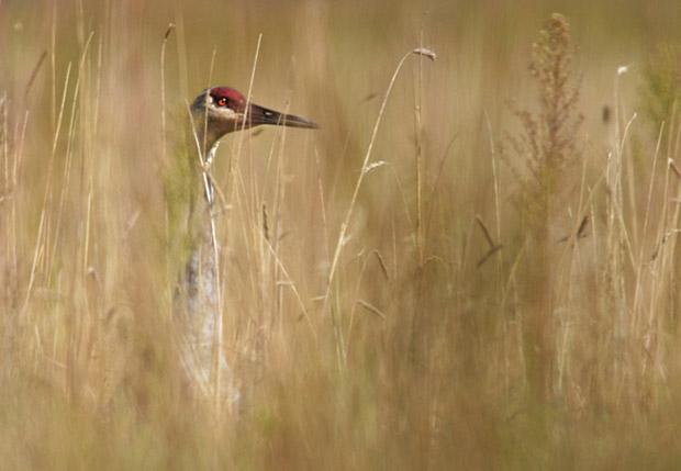 Imagem de ave camuflada em vegetação (Foto: Jeff Morgan)