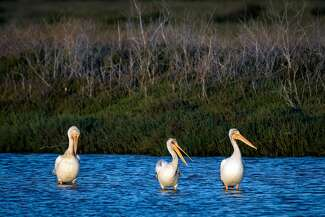 A group of pelicans rest in a channel near the Hayward Shoreline Interpretive Center last month.