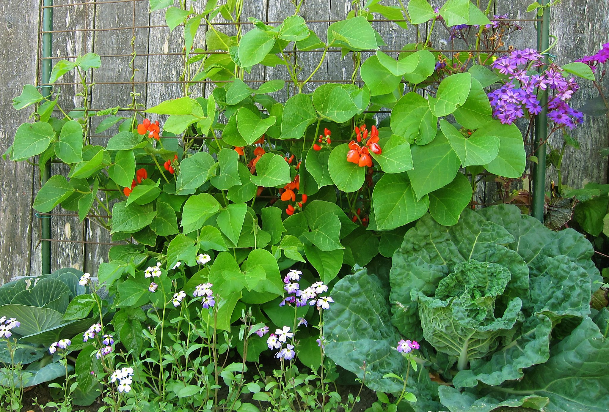 Runner Beans Are An Easy Way To Jump Start Your Garden Sfchronicle Com