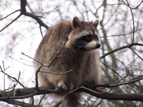 CT child, mom attacked by rabid raccoon at school bus stop