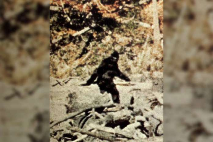 The iconic Bigfoot pose captured in the Patterson-Gimlin movie.