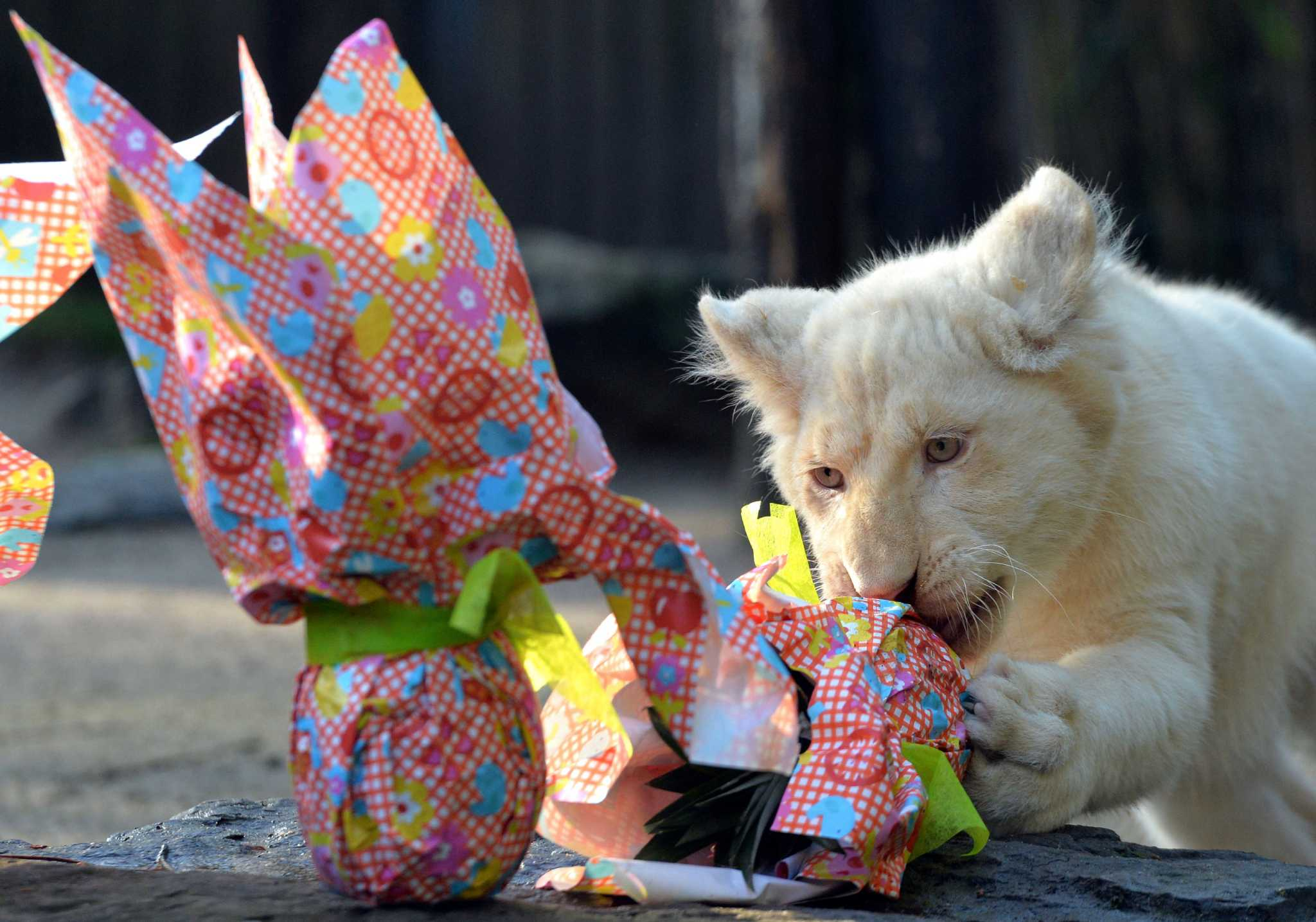 French Zoo Animals Open Easter Ts