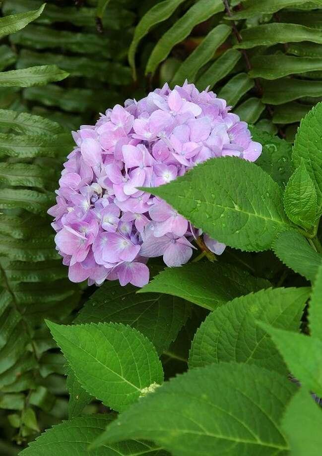 Hydrangea Varieties Keep Gardeners Happy The Hour