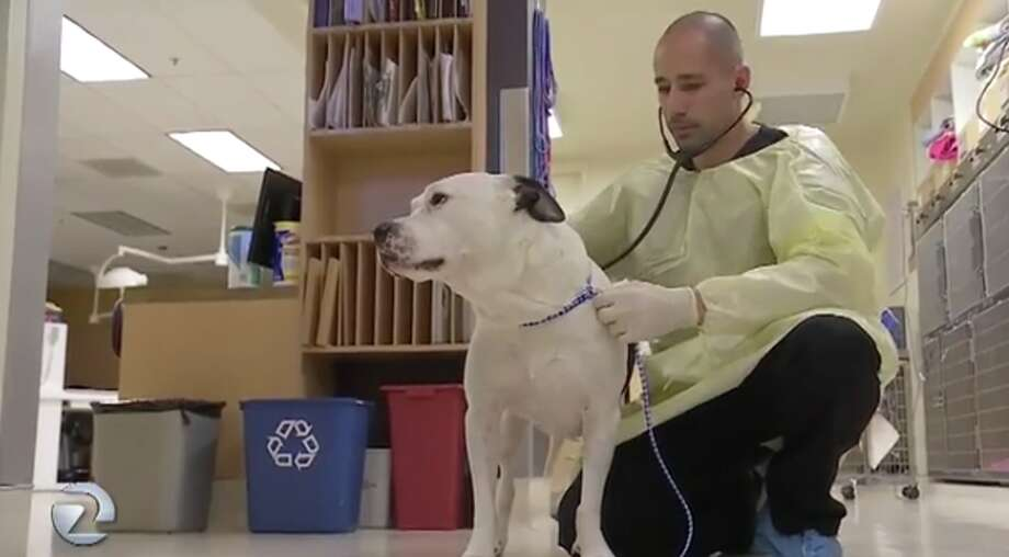 Veterinarian Shadi Ireifej treats a dog at the United Veterinary Specialty and Emergency Hospital in Campbell. Ireifej says he's seen 50 dogs with flu-like symptoms in the past two weeks. Photo: KTVU