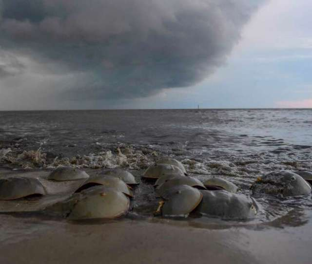Each May And June Millions Of Atlantic Horseshoe Crabs Come Ashore Along The East Coast