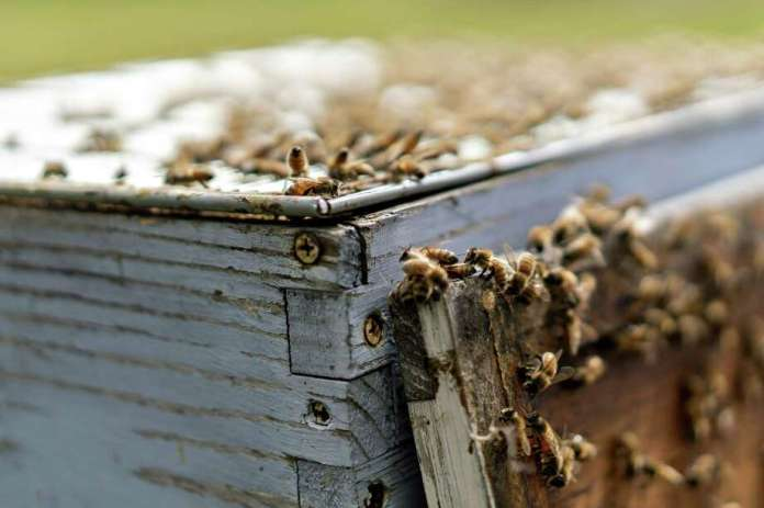 Buckfast honey bees salvage on a beehive in Merango, Unwell., on Sept. 10, 2018. Picture: Bloomberg Picture By Daniel Acker. / © 2018 Bloomberg Finance LP
