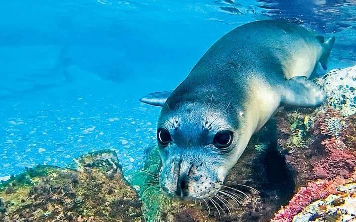 Η μεσογειακή φώκια στην Αλόννησο δεν είναι πλέον... μονάχη ...