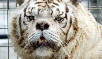 tigers-kenny
