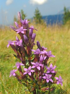 Top 10 mountain flowers to discover  seo Chiltern Gentian bloom on the hike in the mountains  Wild mountain  flowers   seo