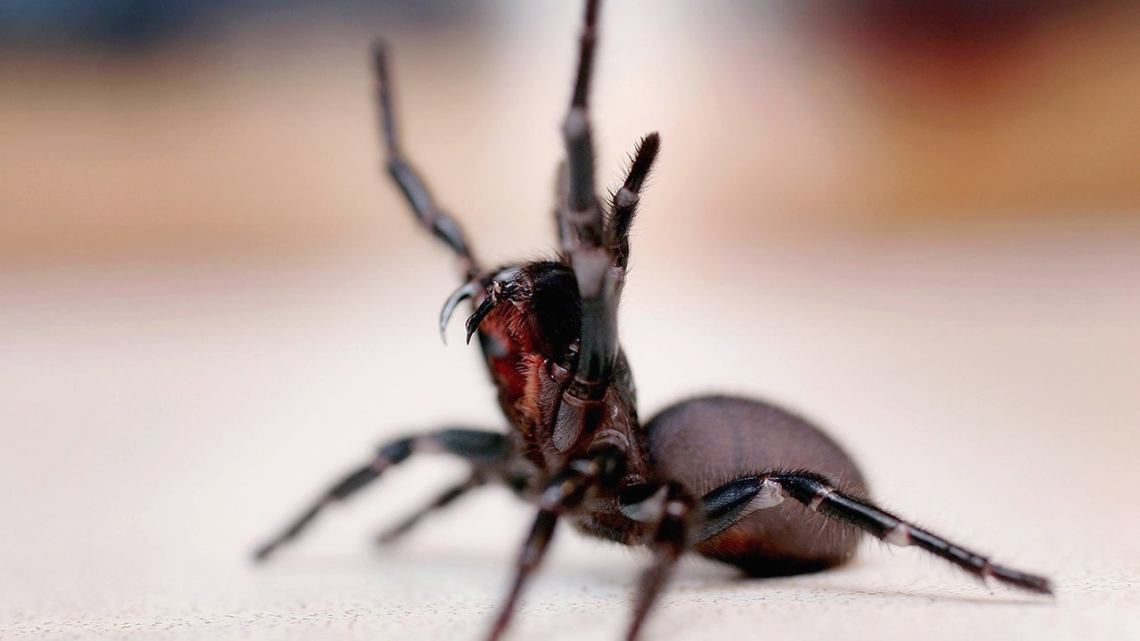 Deadly Australian Funnel-Web Spiders Thriving in Hot, Rainy Conditions,  Reptile Park Warns   The Weather Channel - Articles from The Weather  Channel   weather.com