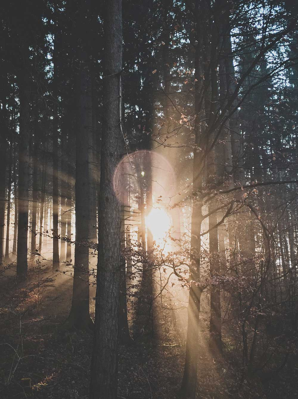 The Sun Setting Through A Dense Forest Of Trees.