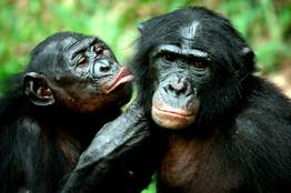 بونوبو بيلعبوا : بونوبو يعتنون بنظافة البعض في محمية بالكونغو