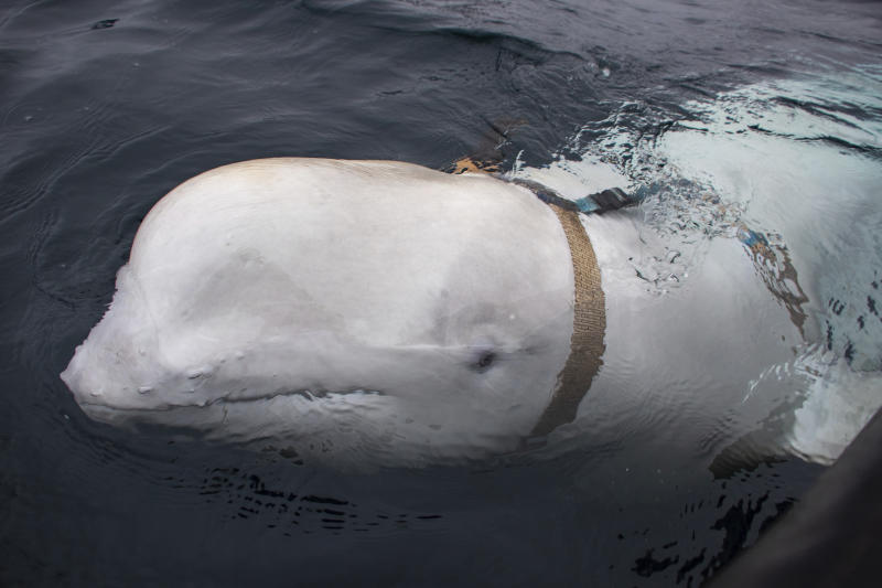 "A beluga whale seen as it swims next to a fishing boat before Norwegian fishermen removed the tight harness, swimming off the northern Norwegian coast Friday, April 26, 2019. The harness strap which features a mount for an action camera, says ""Equipment St. Petersburg"" which has prompted speculation that the animal may have escaped from a Russian military facility. (Joergen Ree Wiig/Norwegian Direcorate of Fisheries Sea Surveillance Unit via AP)"