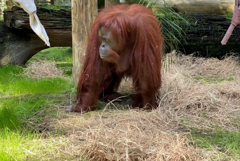 The 33-year-old orangutan Sandra joined the Florida retirement community after a court in Argentina declared her a 'non-human person' with the right to liberty from a Buenos Aires zoo (AFP Photo/Keith Von Stein)