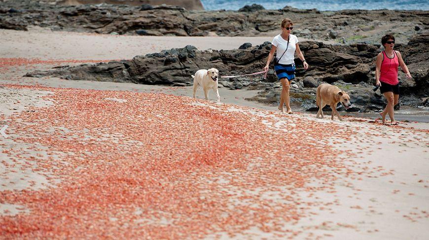 Пляжи Калифорнии «покраснели» из-за крабов