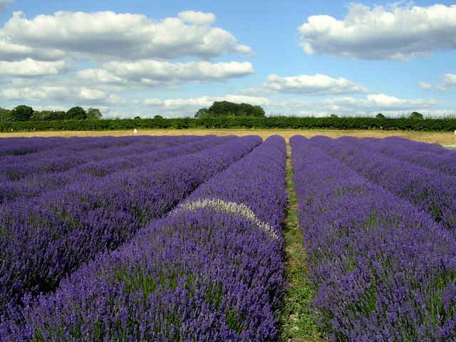 Lavender Field At Hartley Park Farm 169 Mark Percy Cc By Sa