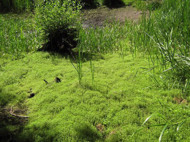 New Zealand Pygmyweed Crassula Helmsii Jonathan Kington Cc By Sa20 Geograph Britain And