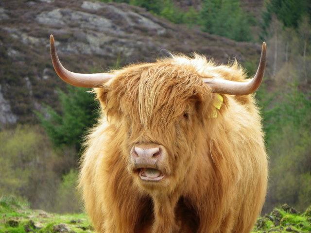 Highland Cow Glen Turret Maigheach Gheal Cc By Sa20 Geograph Britain And Ireland