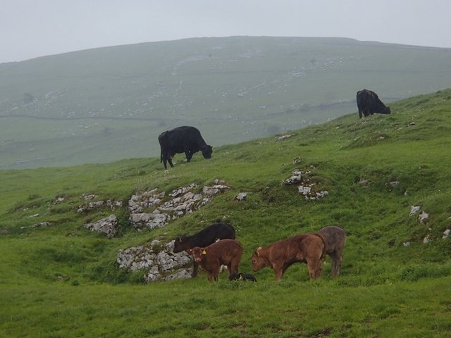 Cattle grazing uplands. © Copyright Andrew Hill and licensed for reuse under this Creative Commons Licence.