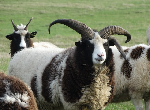 Image result for jacobs sheep