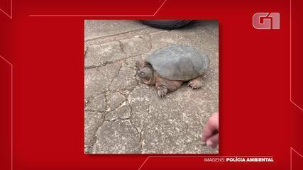 Alligator tortoise, from North and Central America, is found in Presidente Prudente