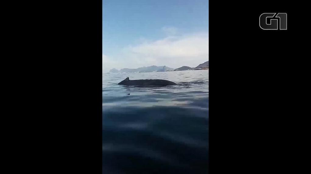 Especialista se aproxima de baleia jubarte em Niterói (RJ)