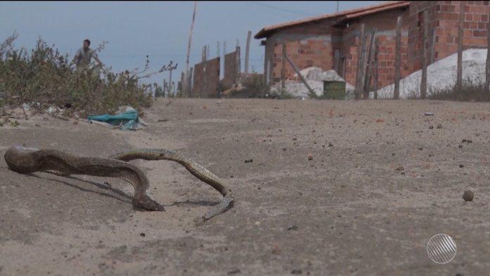 Cobras venenosas assustam moradores em Teixeira de Freitas