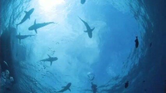 O comportamento dos tubarões
